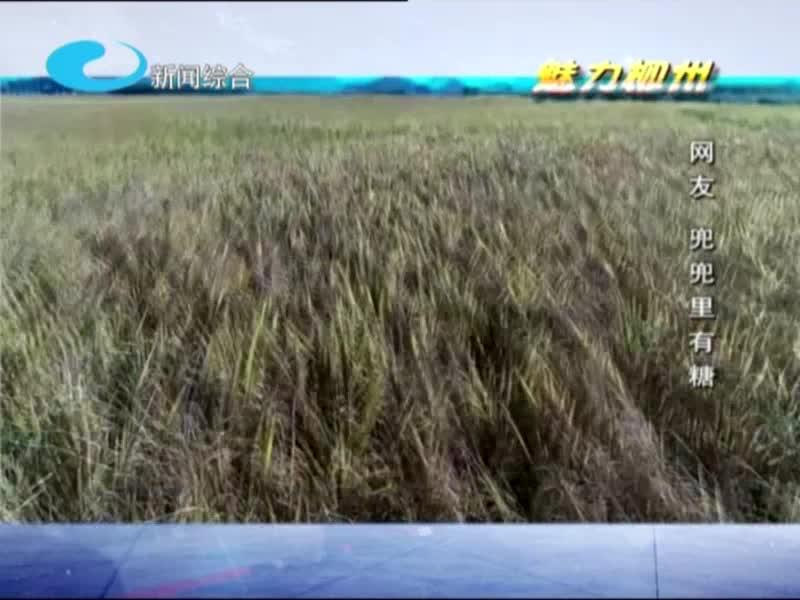 魅力柳州——柳城古砦万亩金色稻田