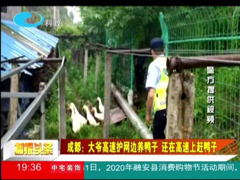 成都:大爷高速护网边养鸭子 还在高速上赶鸭子