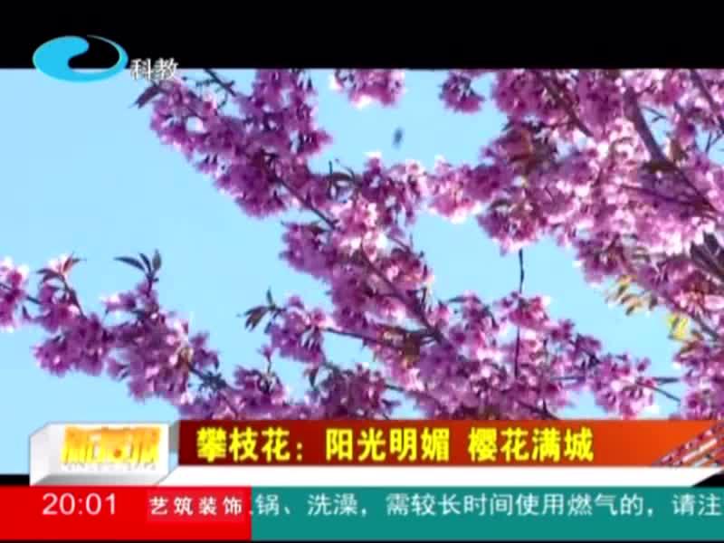 攀枝花:阳光明媚 樱花满城