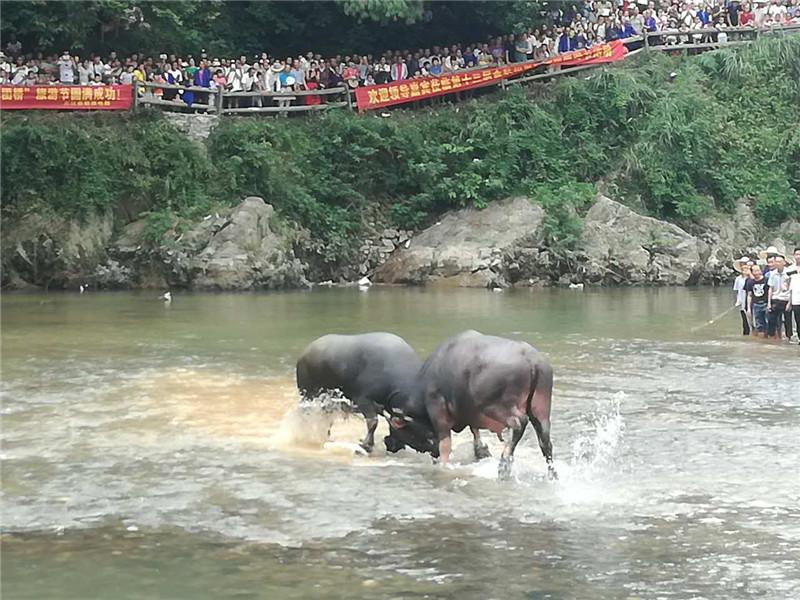 刺激!克三江趟水看斗牛 绝对的原生态体验
