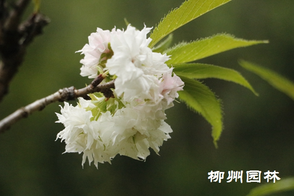 """美丽的""""意外"""" 早春樱花秋季开 周末可以来赏花了"""