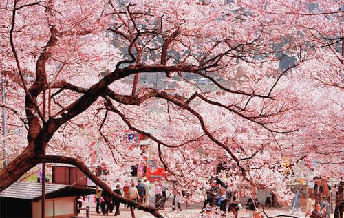 柳州春季踏青赏花攻略 许你三生三世十里芬芳