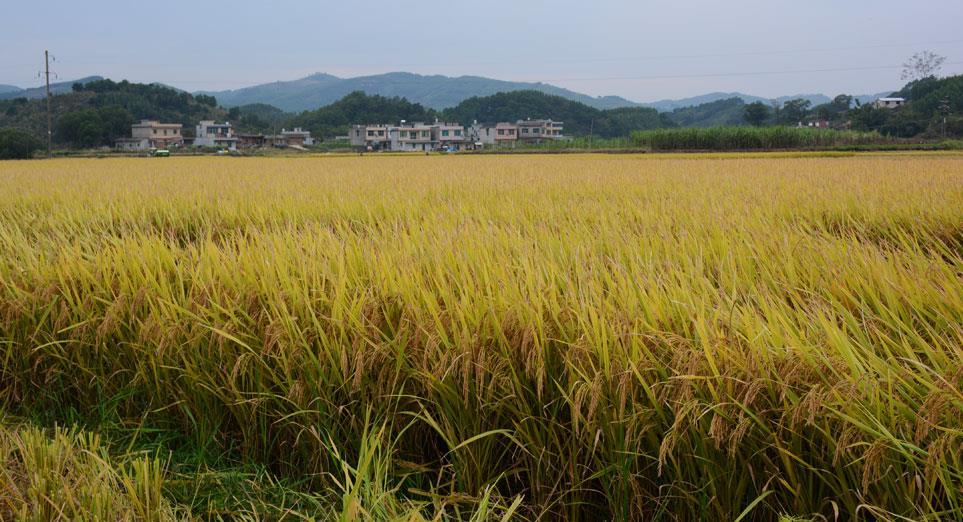 鹿寨农民种杂交水稻不用担心天灾了 政府补贴帮买保险