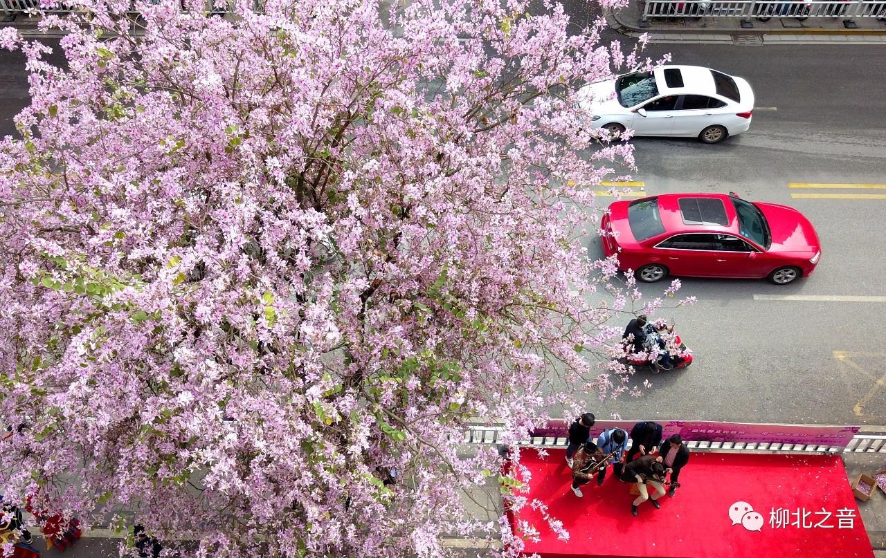 """【会玩】紫荆花凋谢了?这条街为你保鲜到了""""三月三""""!"""
