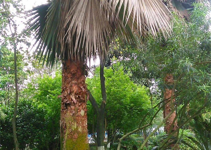 【后续】网友爆料称棕榈树疑似得了传染病 园林部门回应了……
