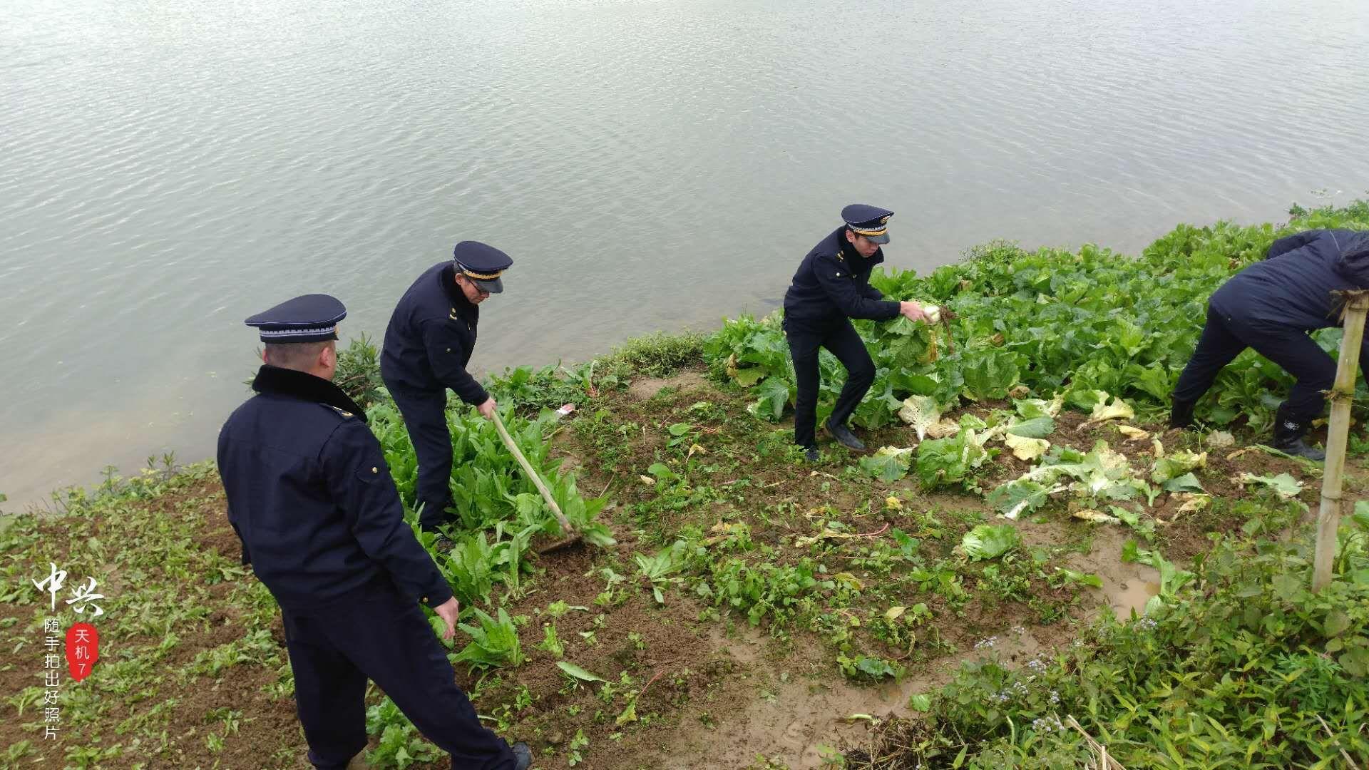 """2000斤白菜被""""偷"""" 报了警也无济于事 这是怎么回事?"""