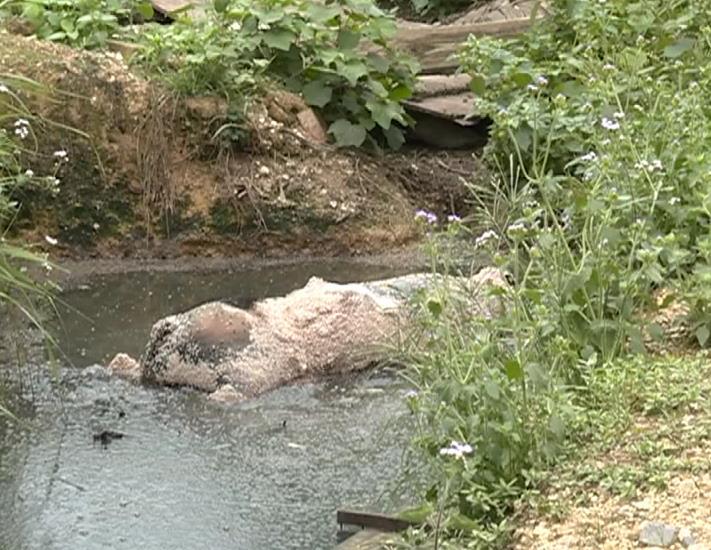 鹿寨一养猪场98头猪陆续病死,猪场、水塘、田埂里都有死猪……