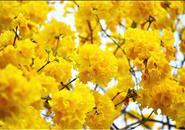 【养眼】紫荆盛开的季节 它敢与之争奇斗艳