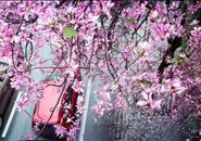 市委常委会审定通过:洋紫荆为柳州新市花,小叶榕为市树