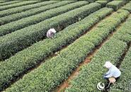 """三江万亩茶园成为百姓脱贫致富的""""绿色银行"""""""
