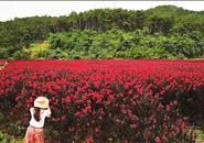 你知道马鹿村山谷里的那片紫薇吗?