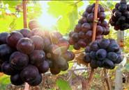 """柳江""""鲁比葡萄""""获地理标志产品保护 我市农产品又有新名片"""