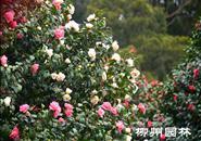冬日赏花去哪里?雀儿山公园一片茶花凌寒开正艳