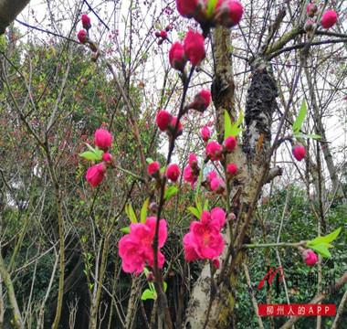 美爆了!东堤游园的桃花开了
