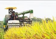 """融安万台农机战""""双抢"""" 10万亩早稻即将收完"""