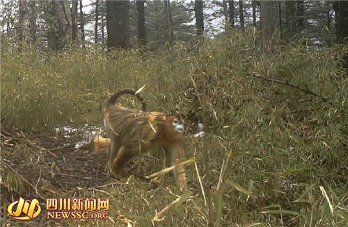 卧龙采集到多种野生动物红外影像