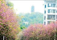 紫荆盛开 乐满龙城