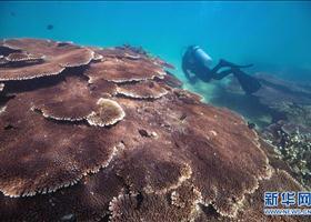潜水锻练担当任务珊瑚保育员
