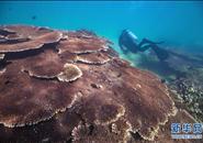 潜水教练担任义务珊瑚保育员