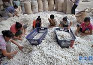 数说广西:广西蚕茧产量占全国48%