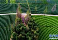 武夷山:生态茶园 静待采摘