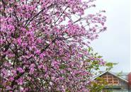 上天早已有了它的安排,让最美的紫荆花开在雨里