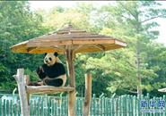 """大熊猫姐弟北上 """"乐不思蜀"""""""